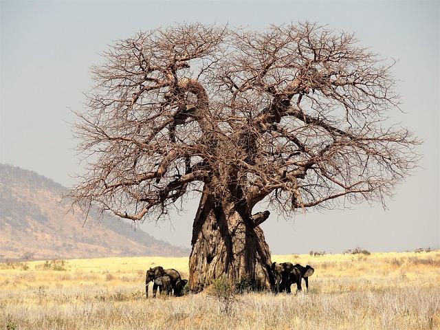 Baobab – Ursprung, Wirkung und Anwendung