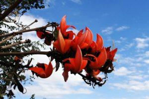 Butea Superba – Definition, Beschreibung und Verwendung