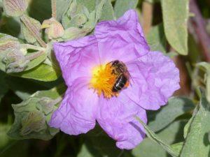 Cistus Tee – Wirkung, Anwendungsgebiete und Nebenwirkungen