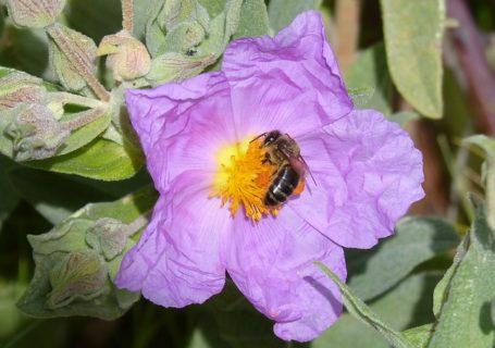 Cistus Tee – antivirale Wirkung und weitere positive Eigenschaften