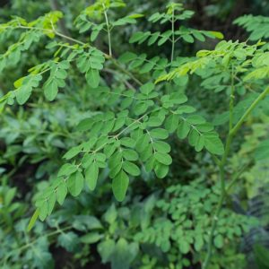 Moringa Oleifera – Ursprung, Beschreibung und Anwendungsgebiete