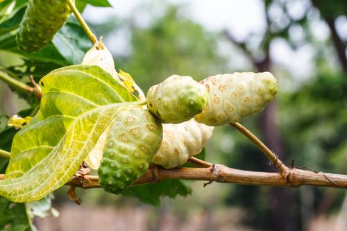 Noni Frucht am Morinda Baum