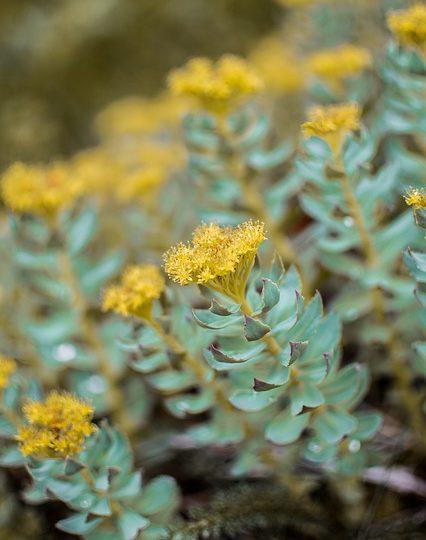 Rhodiola Rosea – Produktformen, Wirkung und Dosierung
