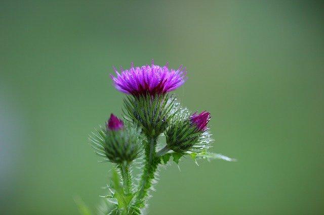 Mariendistel Blüte im Fokus